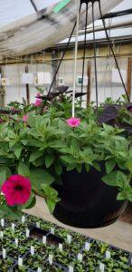 Sunnyside Plants 18