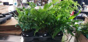 Sunnyside Plants 30